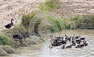 Ducklings listening to mom