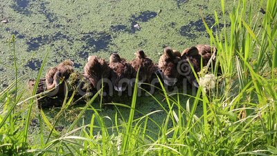 Ducklings on a log na lagoa desfruta do gentil sol quente Natureza Fauna selvagem Aves filme