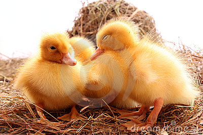 Ducklings sleep