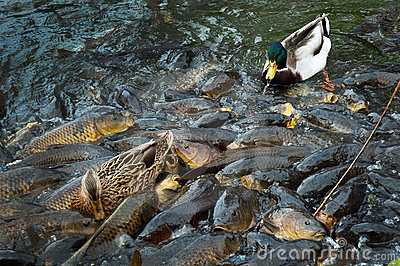 ducks and carp