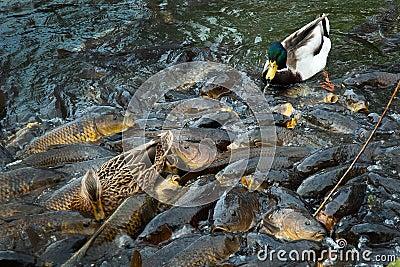 ducks and carp