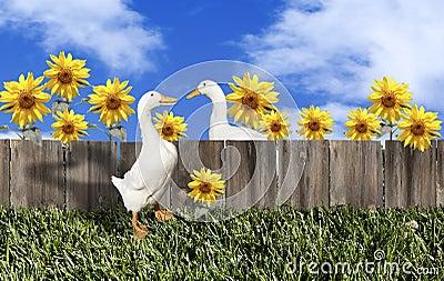 Ducks Fence Sunflowers