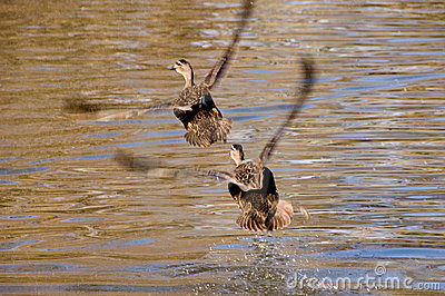 Ducks flying together