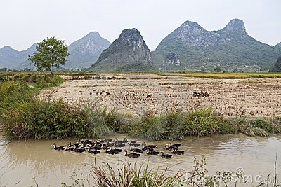 Ducks in Guilin