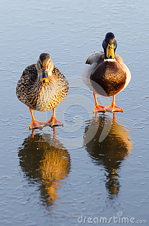 Ducks on the ice