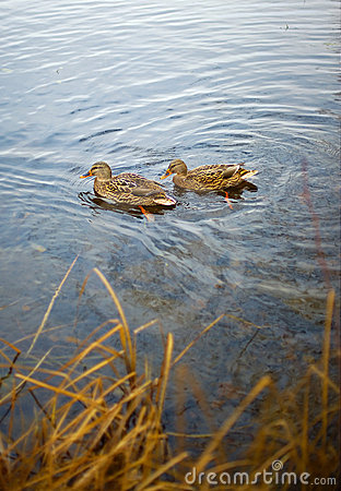 Free Ducks In Lake Royalty Free Stock Images - 13115069