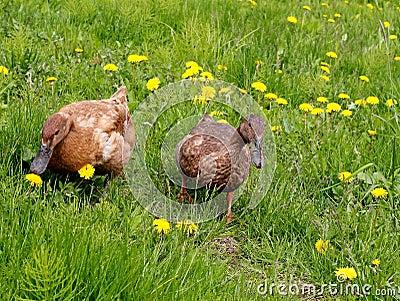 Ducks in the meadow