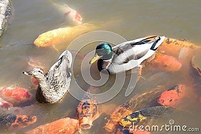 Ducks pescados del koi en la charca