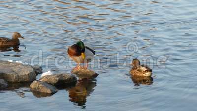 Ducks on the pond stock video footage
