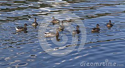 Ducks on reflective water surface