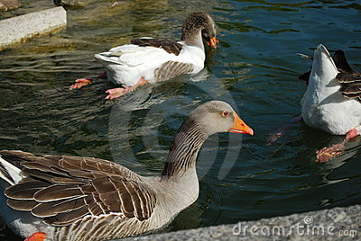 Ducks swimming in a artificial lake