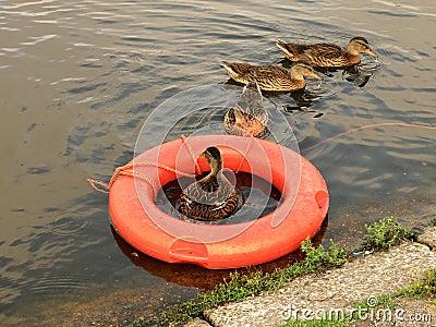 Ducks swimming lessons