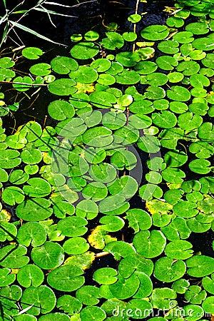 Free Duckweed Royalty Free Stock Image - 3331566