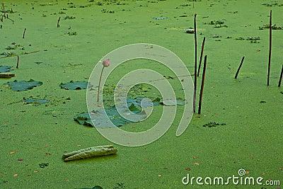 Duckweed in Lotus Ponds