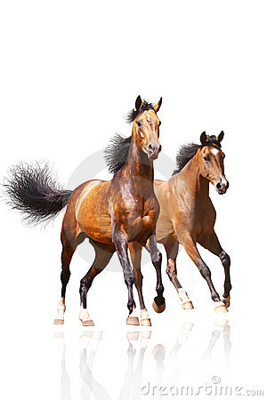 Due cavalli su bianco