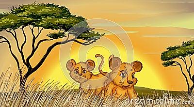 Due cubs