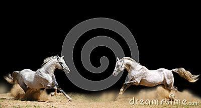 Due stallions