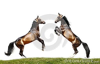 Due stallions isolati