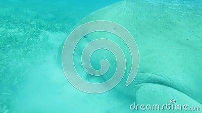 Dugong en mer banque de vidéos