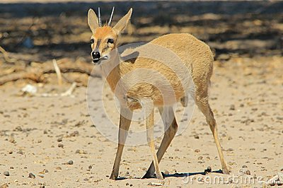 Duiker Ram - Wildlife Background from Africa - Funny Nature and Hungry stomach