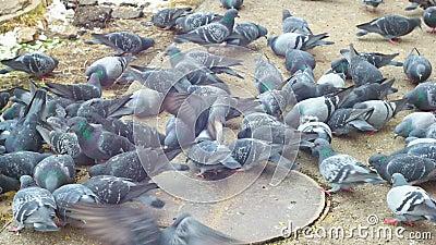 Eten duiven brood