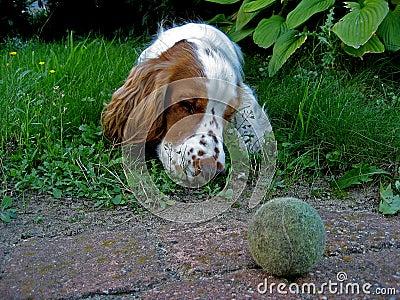 Duke 3, a dog with ball