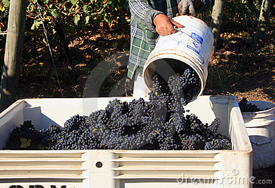 Dumping Bucket of Grapes