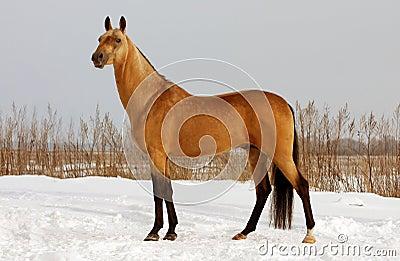 Dun horse exterior