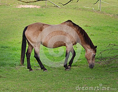 Dun Horse grazing in a meadow