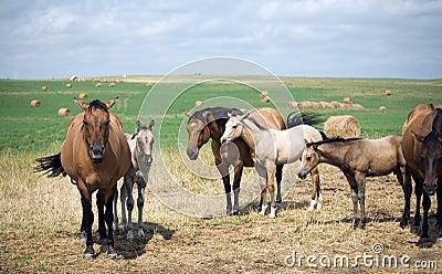 Dun Quarter-Horse Mares
