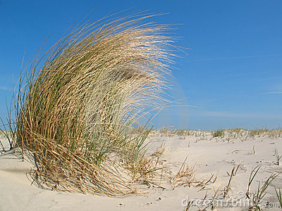 Dune grass in the wind