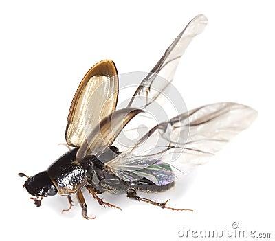 Dung beetle (Aphodius prodromus) isolated on white
