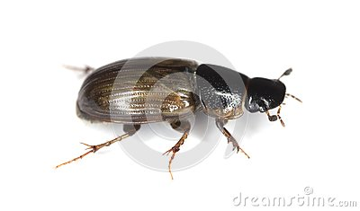 Dung beetle (Aphodius prodromus) isolated on white