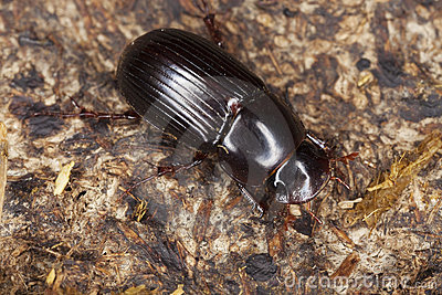 Dung beetle (Aphodius rufipes)