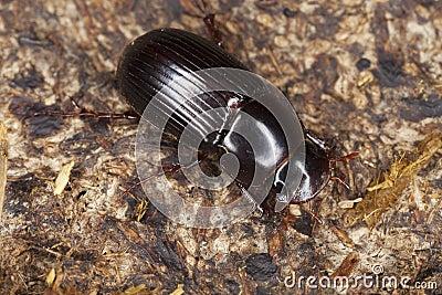 Dung beetle (Aphodius rufipes)
