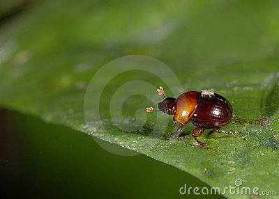 Dung beetle and mite