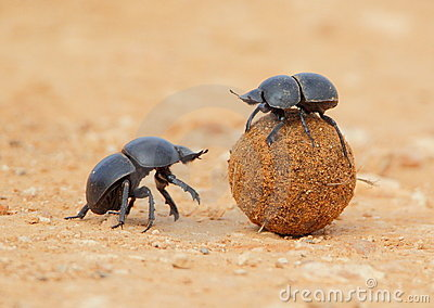 Dung Beetle rolling ball