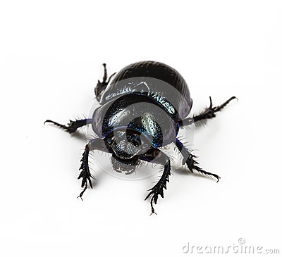 Free Dung Beetle Violet Black Stock Photography - 84217812