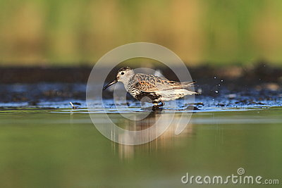 The Dunlin Calidris alpina