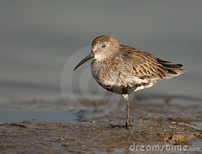 Dunlin no Ft. Desoto
