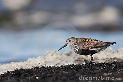 Dunlin, Red-backed Sandpiper