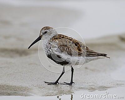Dunlin sandpiper posing on the sand