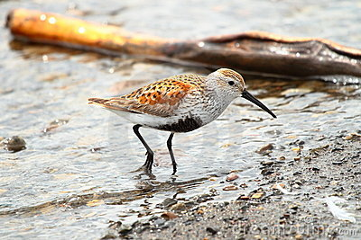 Dunlin, shorebird