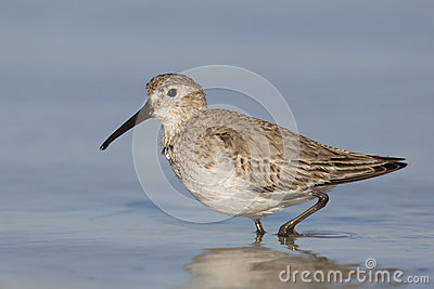 Dunlin walking in the shallow water