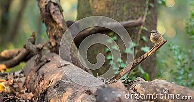 Dunnock bird in European Forest