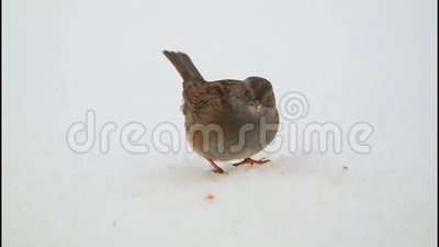 Dunnock que come na neve filme
