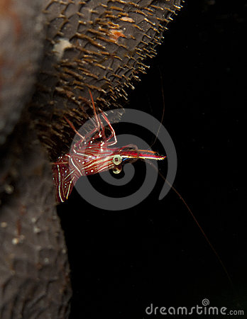 Durban dancer shrimp