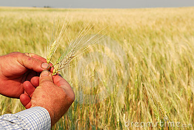 Durum Wheat in Farmer s Hands