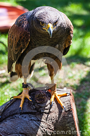 Dusky Hawk
