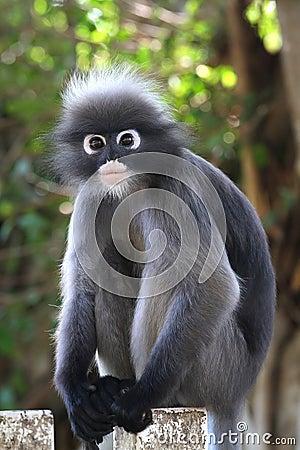 Free Dusky Leaf Monkey Stock Images - 26304954